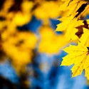 Maple-Yellow-Leaves